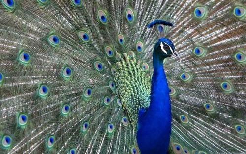 2-peacock